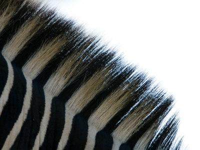 Close Up of the Mane of a Burchell's or Common Zebra, Equus Burchelli-Paul Sutherland-Stretched Canvas Print