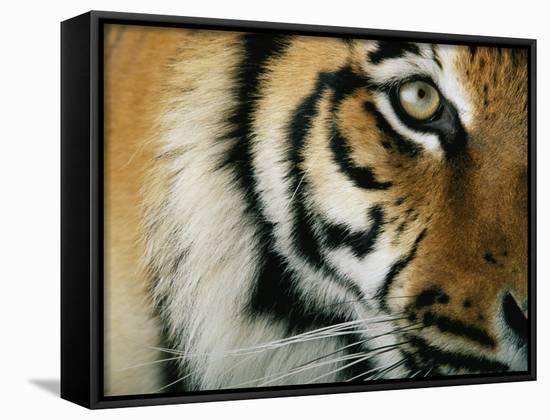Close View of an Indian Tiger-Michael Nichols-Framed Canvas Print