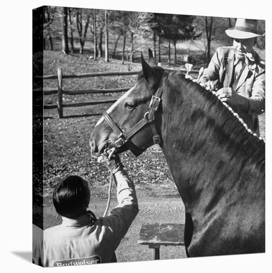 Clydesdale Horse, Used for Brewery Promotion Purposes, on the Anheuser-Busch Breeding Farm-Margaret Bourke-White-Stretched Canvas Print
