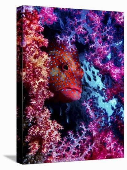 Coral Hind-Dani Barchana-Stretched Canvas Print