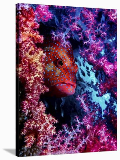 Coral Hind-Dani Barchana-Stretched Canvas Print