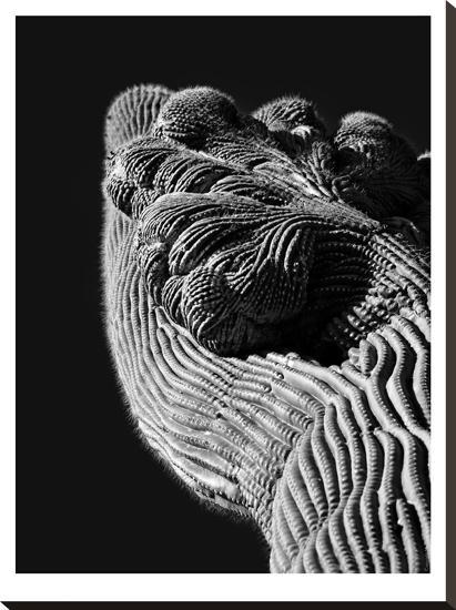 Cristate Saguaro Cactus #7-Murray Bolesta-Stretched Canvas Print