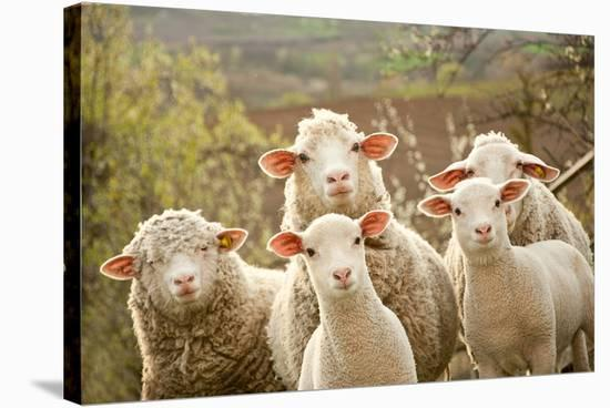 Curious Flock of Sheep--Stretched Canvas Print