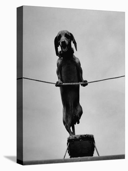 Dachshund in Training-Hansel Mieth-Stretched Canvas Print