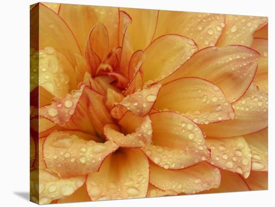 Dahlia Flower with Pedals Radiating Outward, Sammamish, Washington, USA-Darrell Gulin-Stretched Canvas Print