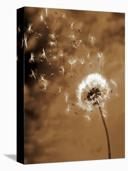 Dandelion Seed Blowing Away-Terry Why-Stretched Canvas Print