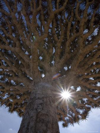 Dragonblood Tree, Homil Plateau, Socotra Island, Yemen-Michele Falzone-Stretched Canvas Print