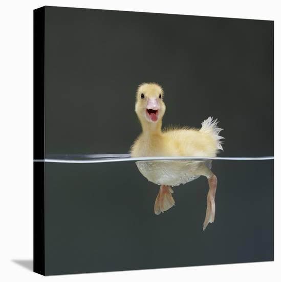 Duckling Swimming on Water Surface, UK-Jane Burton-Stretched Canvas Print