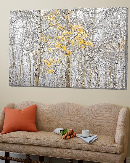 Fall Birch-Andrew Geiger-Loft Art