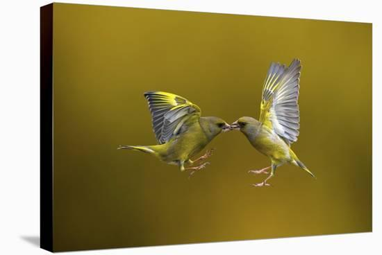 Flying Kiss-Marco Redaelli-Stretched Canvas Print