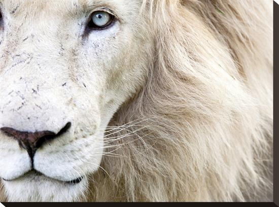 Full Frame Close Up Portrait of a Male White Lion with Blue Eyes.  South Africa.-Karine Aigner-Stretched Canvas Print