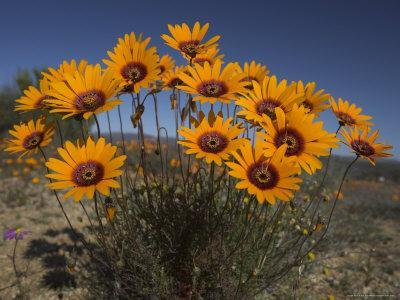 Gazanias in Namaqua National Park, Namaqualand, Northern Cape, South Africa, Africa-Steve & Ann Toon-Stretched Canvas Print