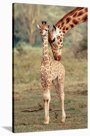 Giraffe and Baby--Stretched Canvas Print