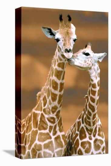 Giraffe First Love-Ron D'Raine-Stretched Canvas Print