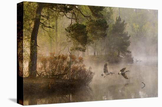 Goose Fight-Anton Van Dongen-Stretched Canvas Print