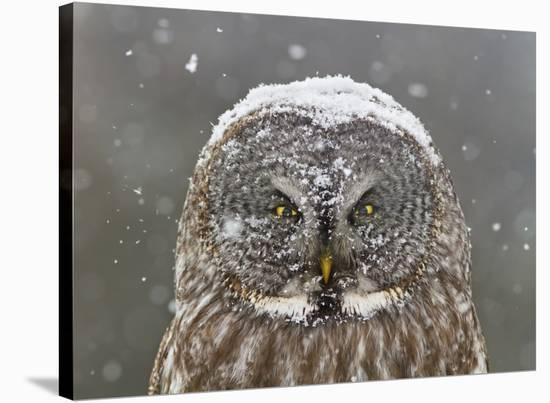 Great Grey Owl Winter Portrait-Mircea Costina-Stretched Canvas Print