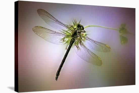 Green Dragonfly-Jimmy Hoffman-Stretched Canvas Print