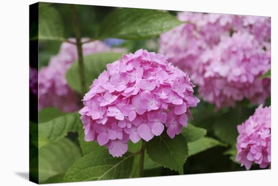 Hydrangea-Sweet Ink-Stretched Canvas Print