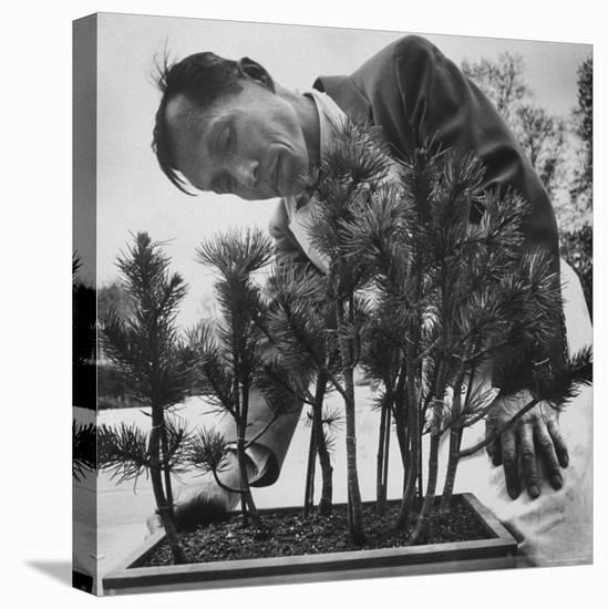 Japanese Horticulturist Kan Yashiroda Tending to a Bonsai Tree-Gordon Parks-Stretched Canvas Print
