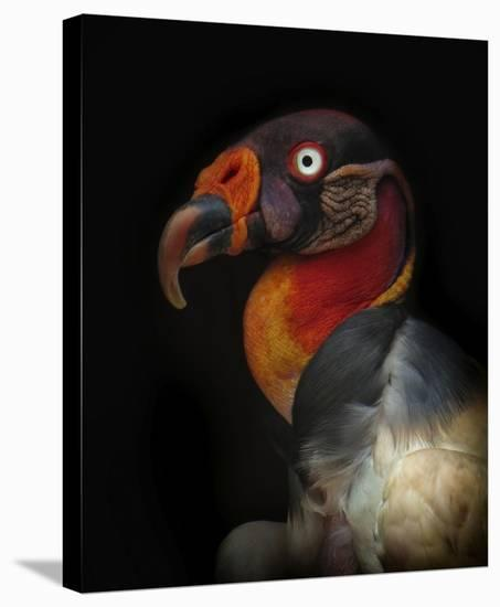 King Vulture-Sarcoramphus Papa-Ferdinando Valverde-Stretched Canvas Print