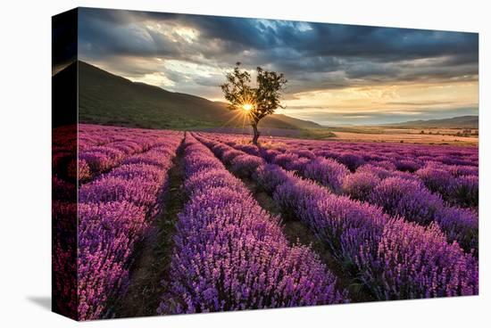 Lavender Field & Tree Sunrise--Stretched Canvas Print