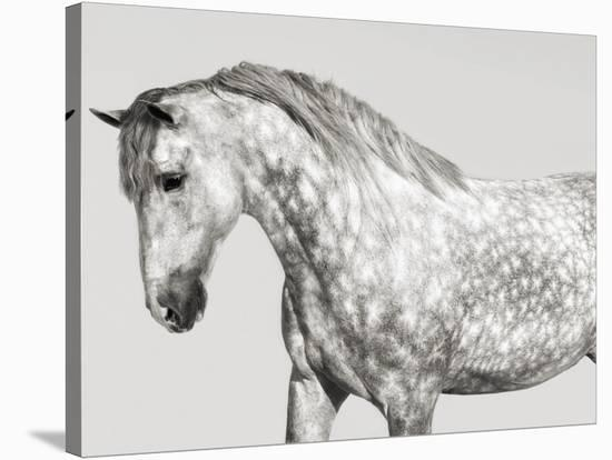 Leia, Andalusian Pony-Pangea Images-Stretched Canvas Print
