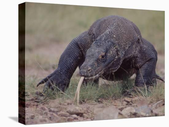 """Monitor Lizard, Called the """"Komodo Dragon"""", on the Island of Flores-Larry Burrows-Stretched Canvas Print"""