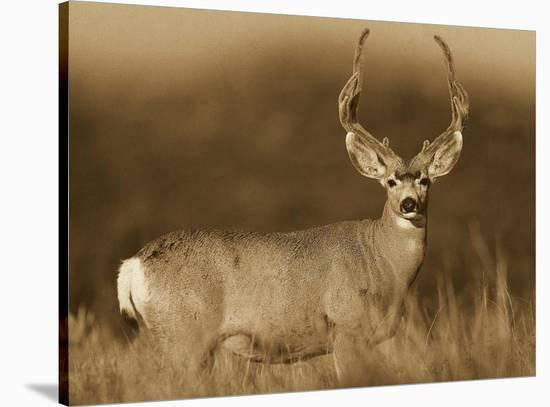 Mule Deer Male In Dry Grass North America Sepia Stretched Canvas Print Tim Fitzharris Art Com