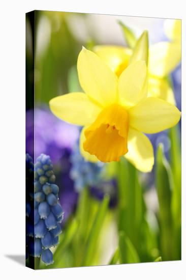 Narcissus, Daffodil, Grape Hyacinth-Sweet Ink-Stretched Canvas Print