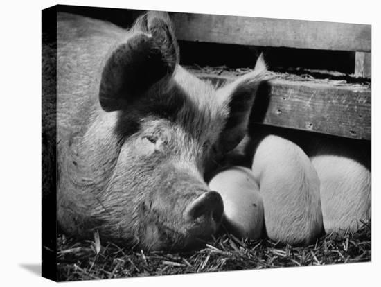 Not Pure Breds, Mixed Yorkshire Pigs, on Iowa Farm-Gordon Parks-Stretched Canvas Print