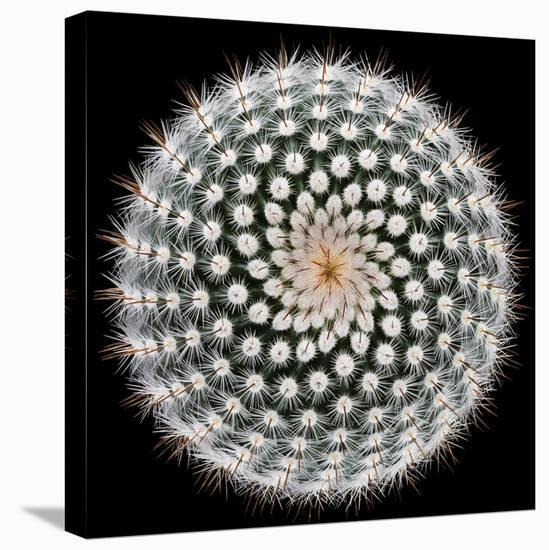Notocactus Scopa-Victor Mozqueda-Stretched Canvas Print
