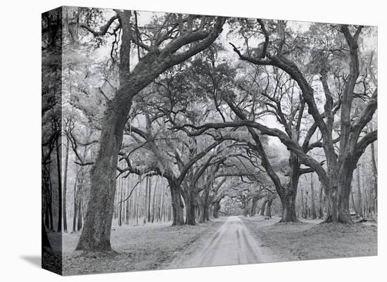 Oak Arches-Jim Morris-Stretched Canvas Print