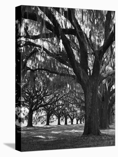 Oak Trees with Spanish Moss Hanging from Their Branches Lining a Southern Dirt Road-Alfred Eisenstaedt-Stretched Canvas Print