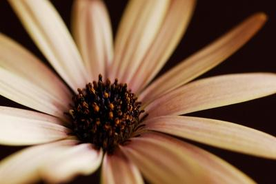 Osteospurmum on Black 02-Tom Quartermaine-Stretched Canvas Print