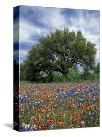Paintbrush And Bluebonnets And Live Oak Tree Marble