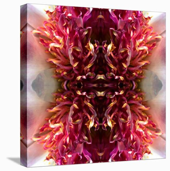 Peony Frizzle-Rose Anne Colavito-Stretched Canvas Print