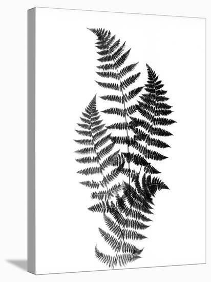 Photographic Study Of Fern Leaves-Bettmann-Stretched Canvas Print