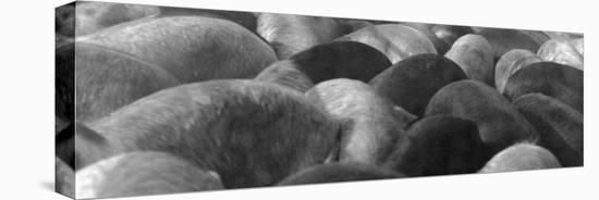 Pigs Crowded Together at a Swift Meatpacking Facility-Margaret Bourke-White-Stretched Canvas Print