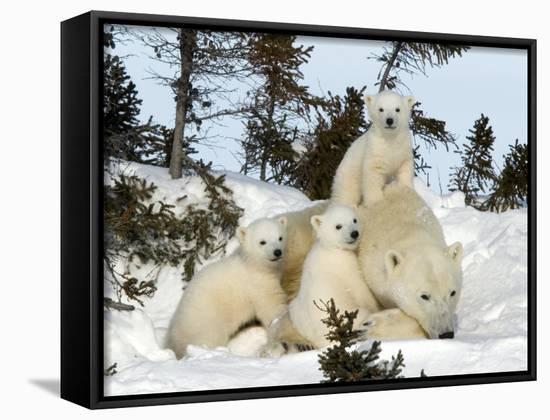 Polar Bear (Ursus Maritimus) Mother with Triplets, Wapusk National Park, Churchill, Manitoba-Thorsten Milse-Framed Canvas Print
