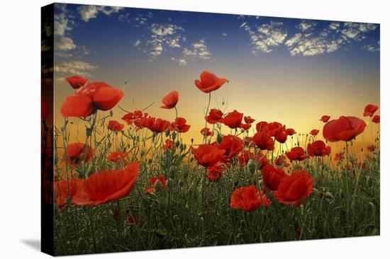 Poppies--Stretched Canvas Print