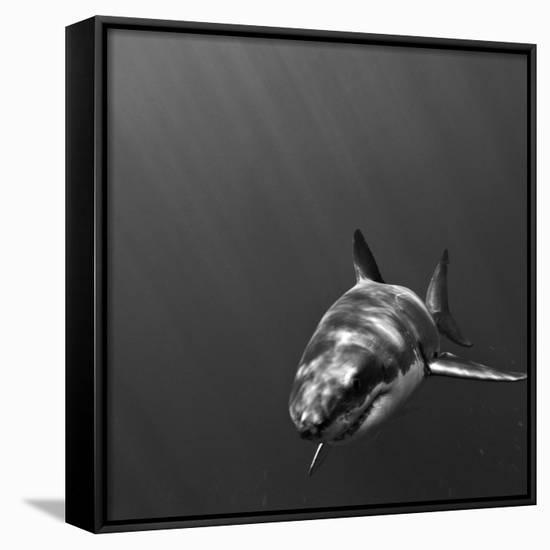 Portrait of a Great White Shark, Carcharodon Carcharias, Swimming-Jeff Wildermuth-Framed Canvas Print
