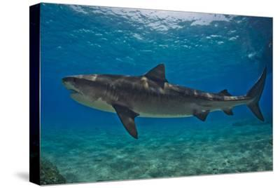 Portrait Of A Tiger Shark Swimming At The Sea Floor Photographic
