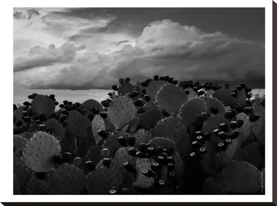 Prickly Pear Tuna #2-Murray Bolesta-Stretched Canvas Print