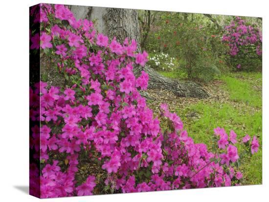 adam-jones-azalea-blossoms-in-spring-magnolia-plantation-charleston-south-carolina-flower
