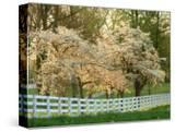 Dogwood Trees at Sunset Along Fence  Kentucky