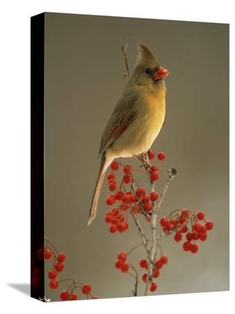 adam-jones-female-northern-cardinal-cardinalis-cardinalis-among-hawthorne-berries
