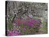 Flowering Dogwood Tree  Cornus Florida  and Azaleas in Full Bloom  Middlteton Place  South Carolina
