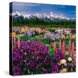 Iris and Lupin Garden  Teton Range