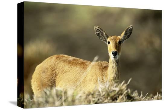 adam-jones-kenya-portrait-of-reedbuck-in-maasai-mara-national-reserve