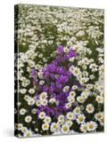 Meadow of Oxeye Daisies  Chrysanthemum Leucanthemum